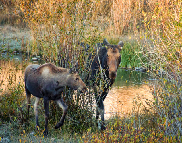 Mother and Child Moose