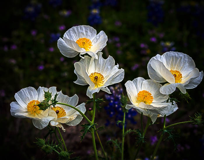White Prickly Poppies