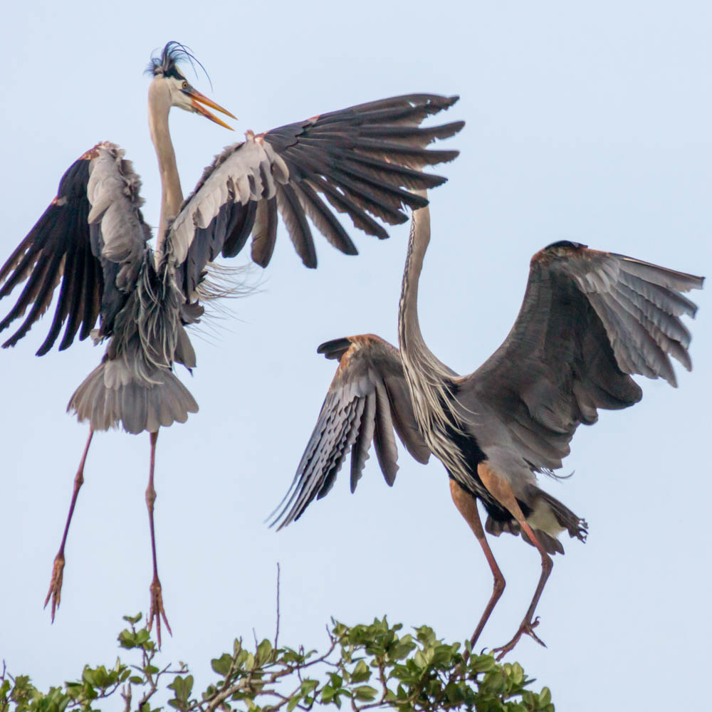 Great Blue Herons at the Rookery