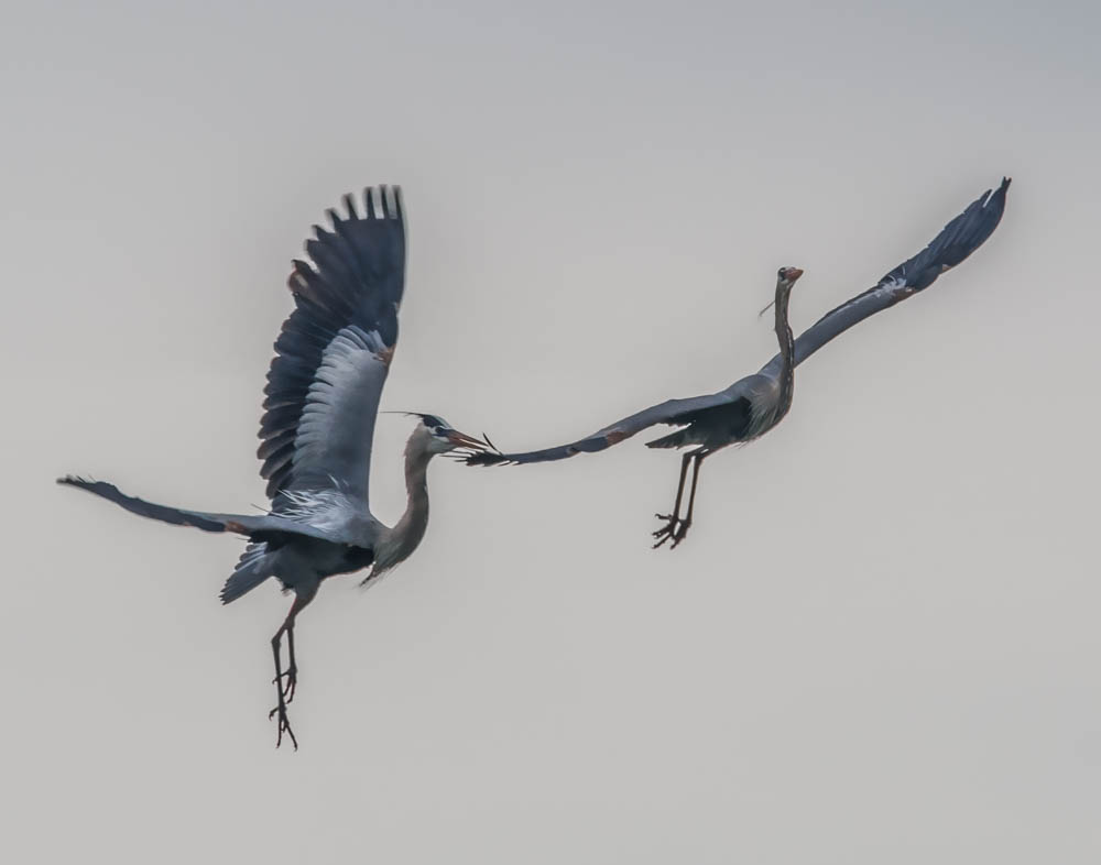 Great BLue Heron Pair in Flight
