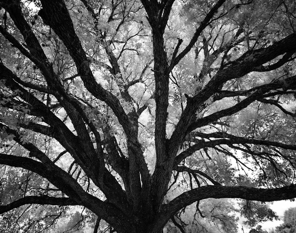Goliad State Park Tree