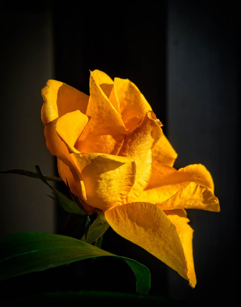 Yellow Rose in the Sunlight
